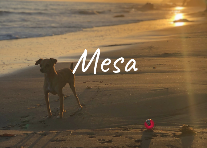 Mesa-Lane-Beach-Dog-Sunset-Bailey-Santa-Barbara-Homepage